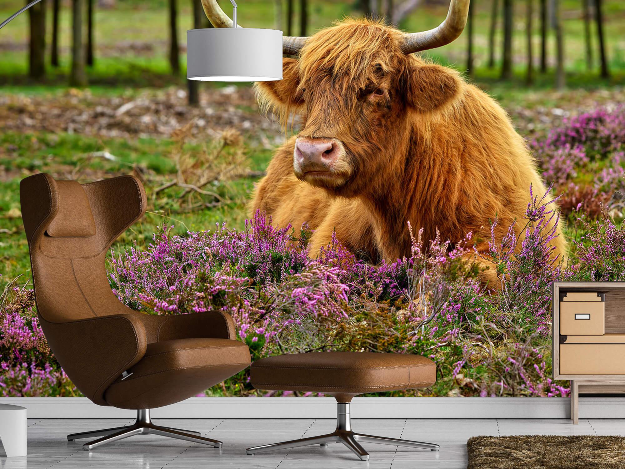 Hooglanders - Schotse hooglander tussen paarse heide 19