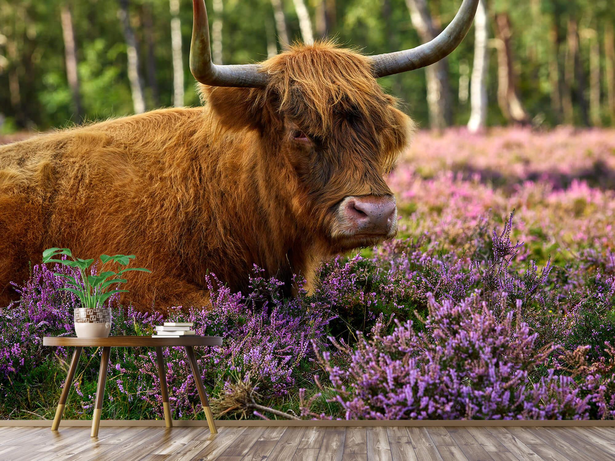 Hooglanders - Stoere Schotse hooglander 4