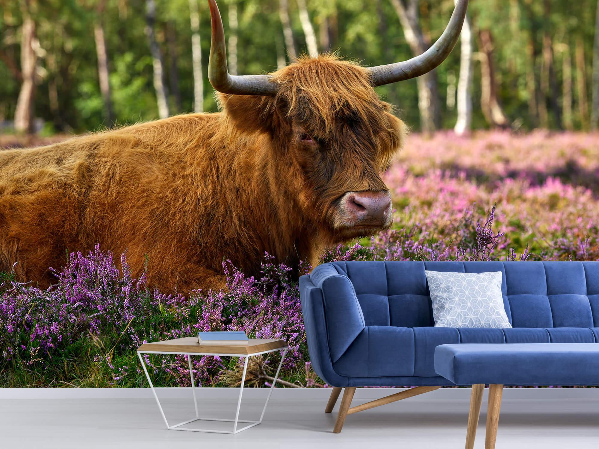 Hooglanders - Stoere Schotse hooglander 5