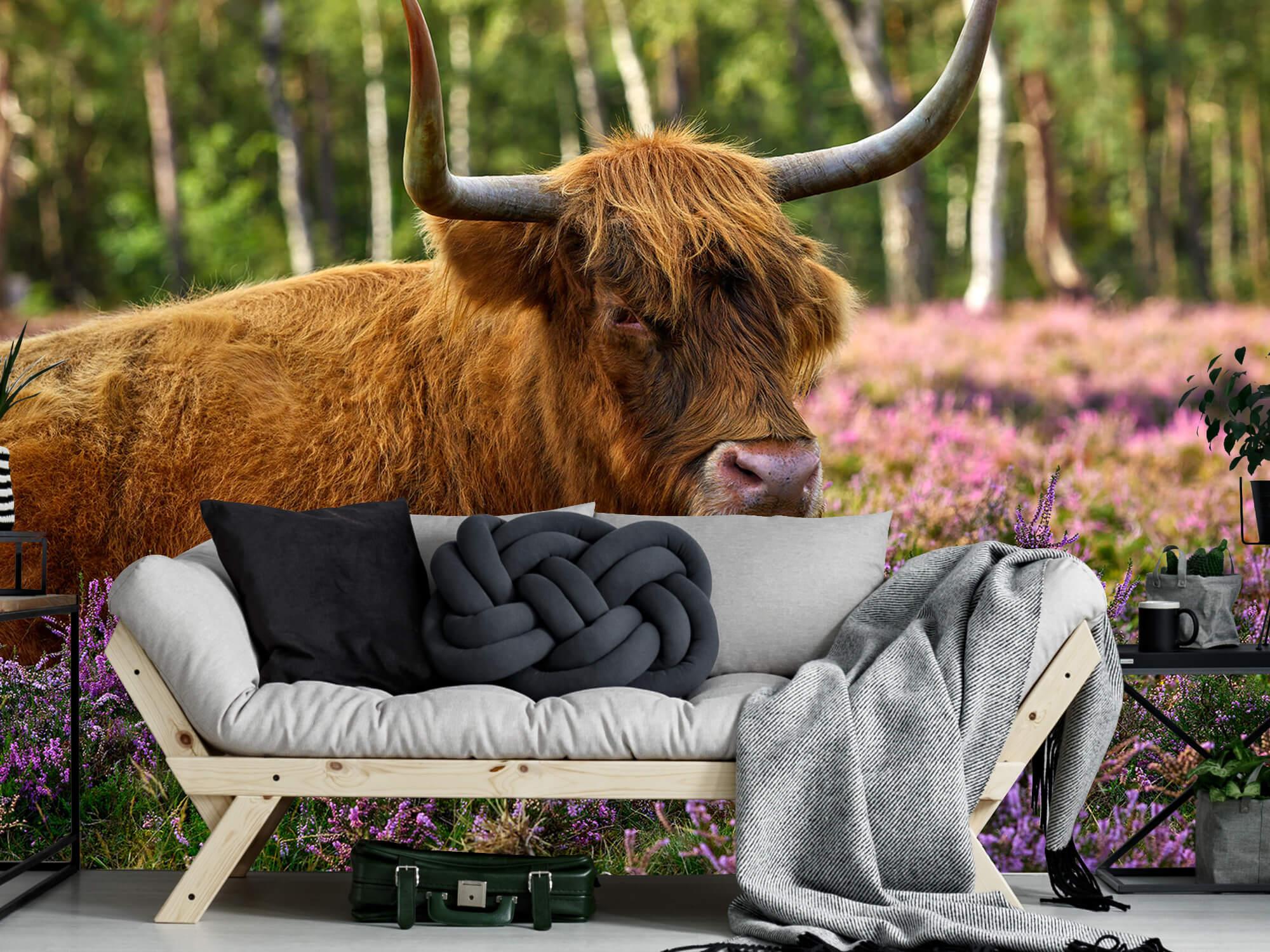Hooglanders - Stoere Schotse hooglander 6