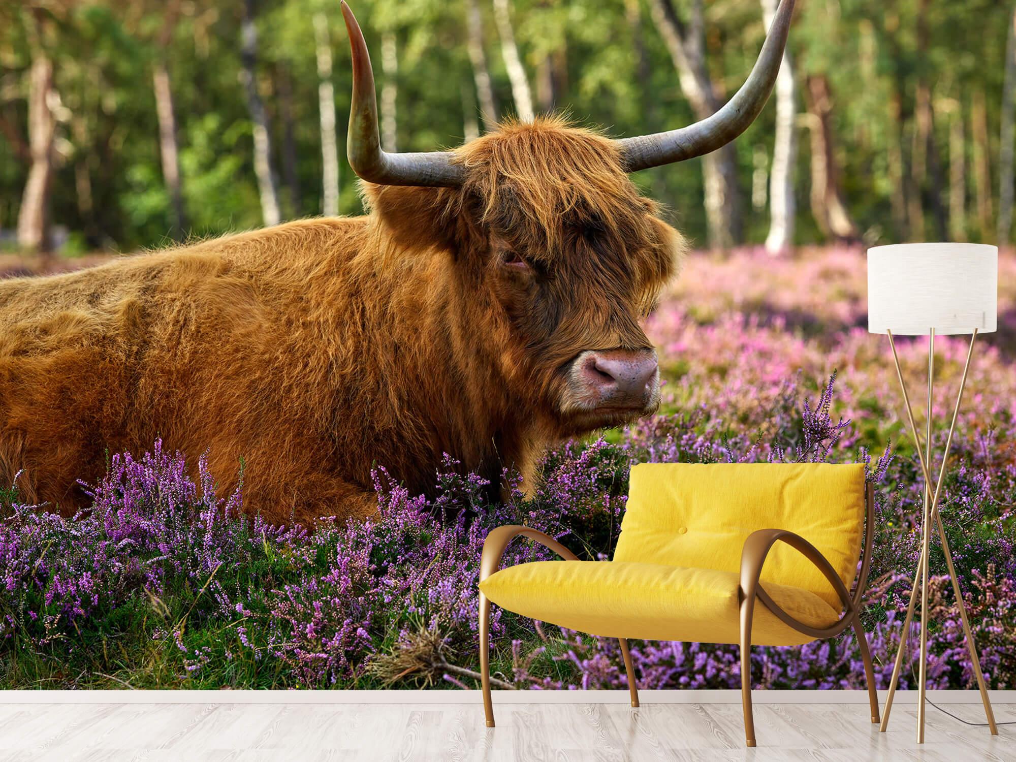 Hooglanders - Stoere Schotse hooglander 10