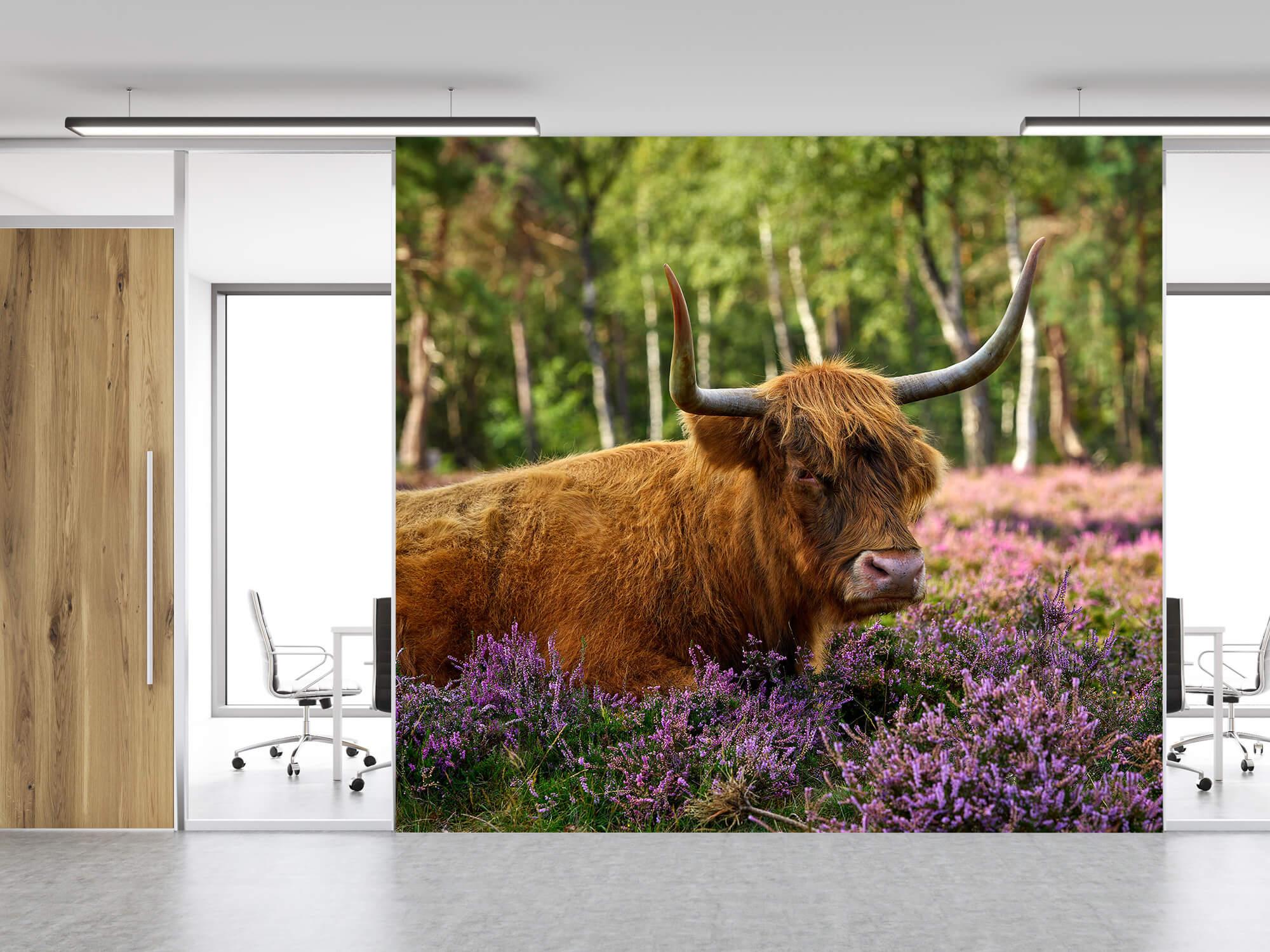 Hooglanders - Stoere Schotse hooglander 11