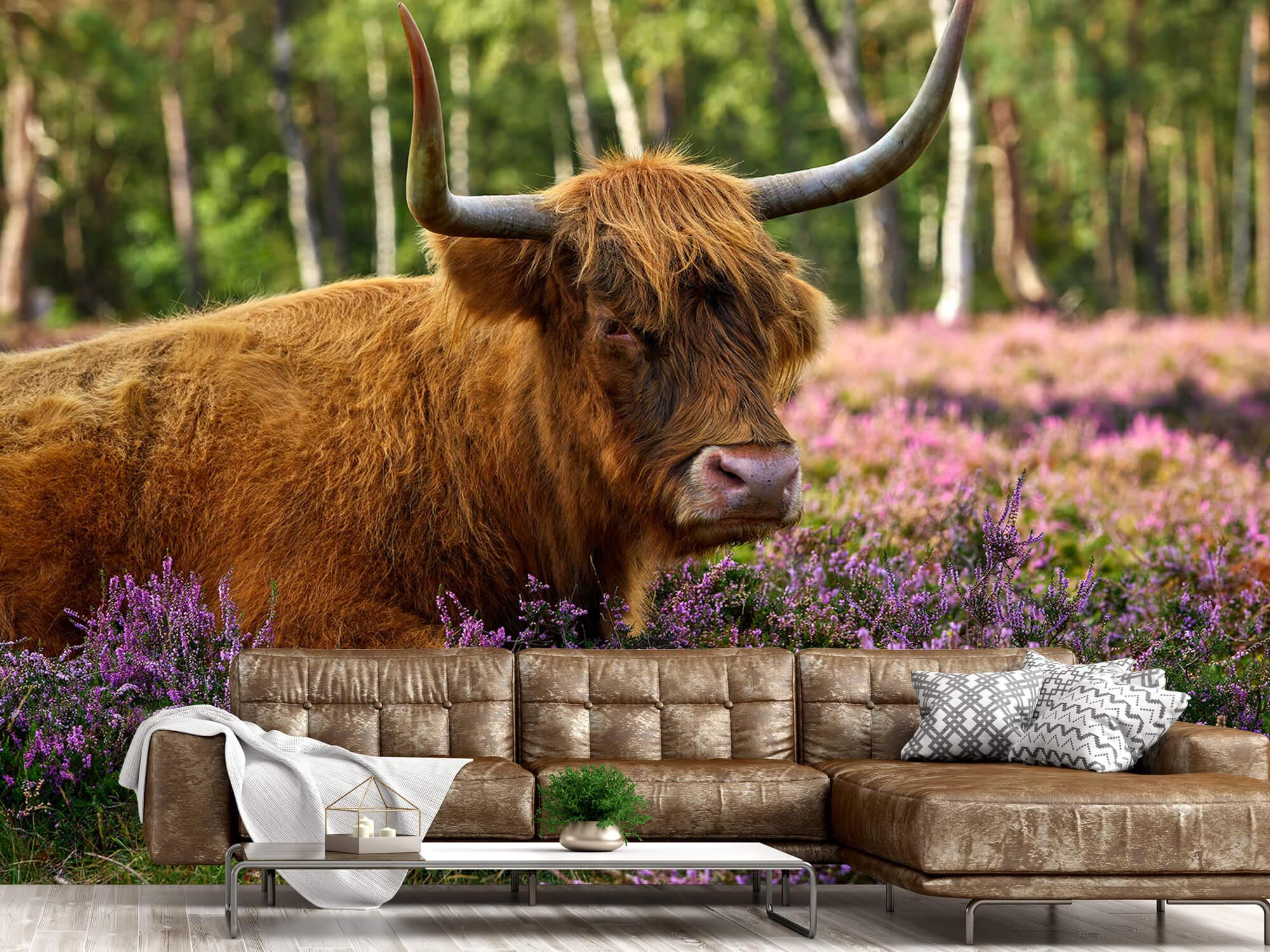 Hooglanders - Stoere Schotse hooglander 14