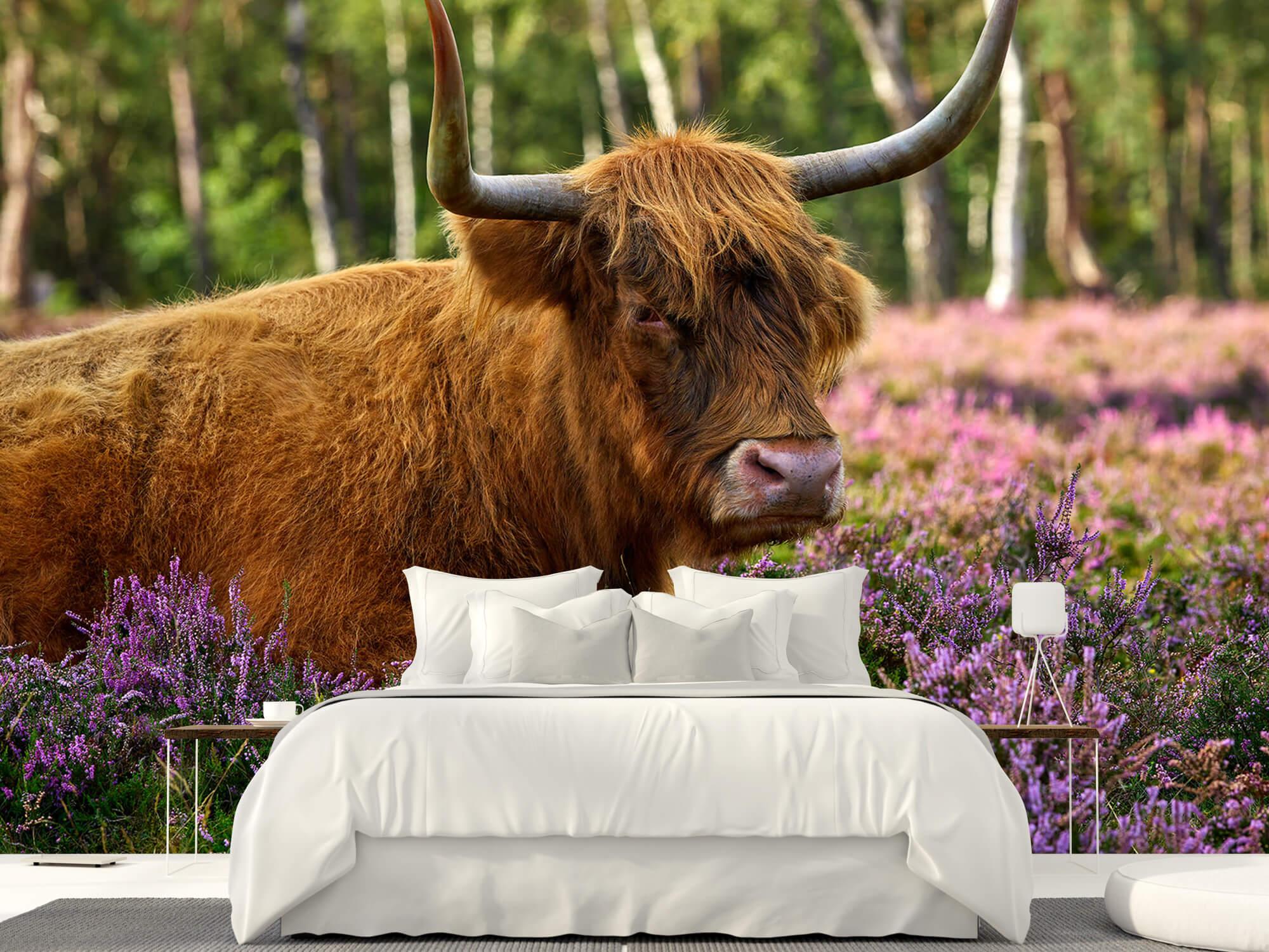 Hooglanders - Stoere Schotse hooglander 23