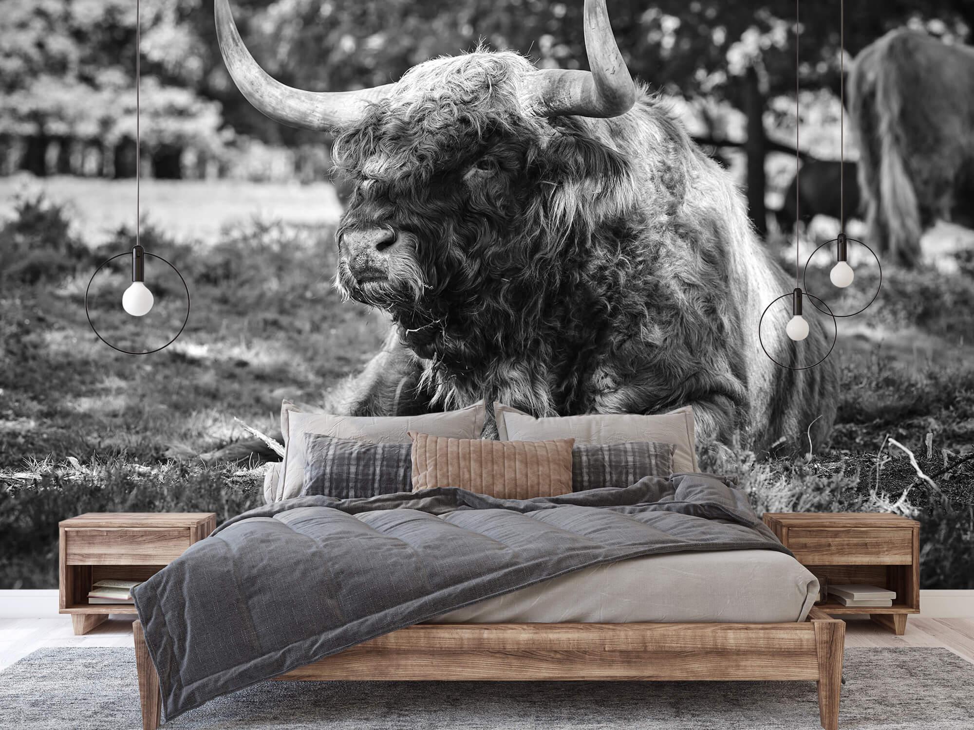 Hooglanders - Schotse hooglander stier 2