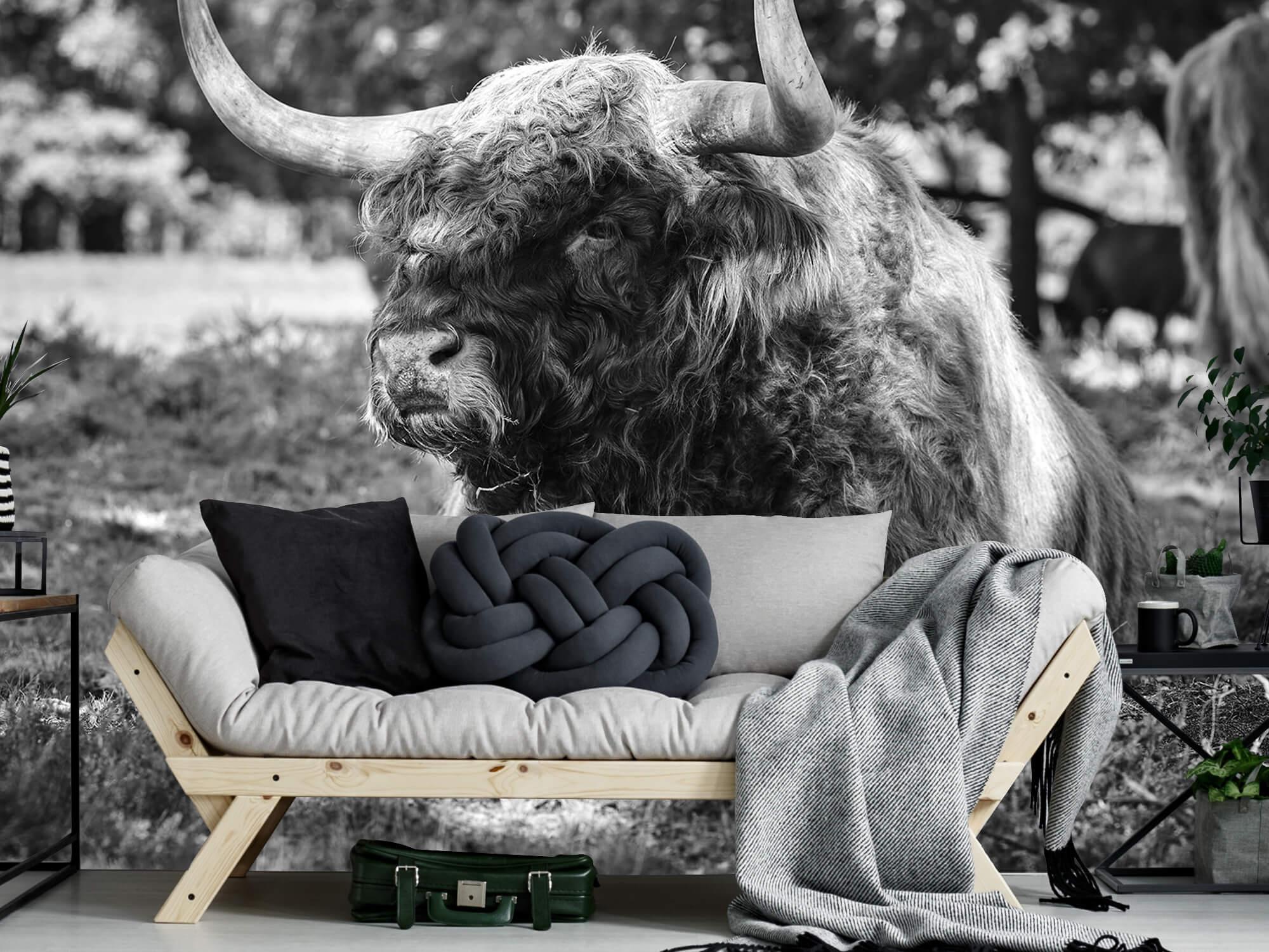 Hooglanders - Schotse hooglander stier 6
