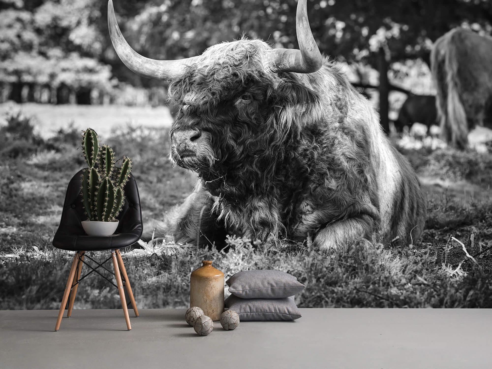 Hooglanders - Schotse hooglander stier 13