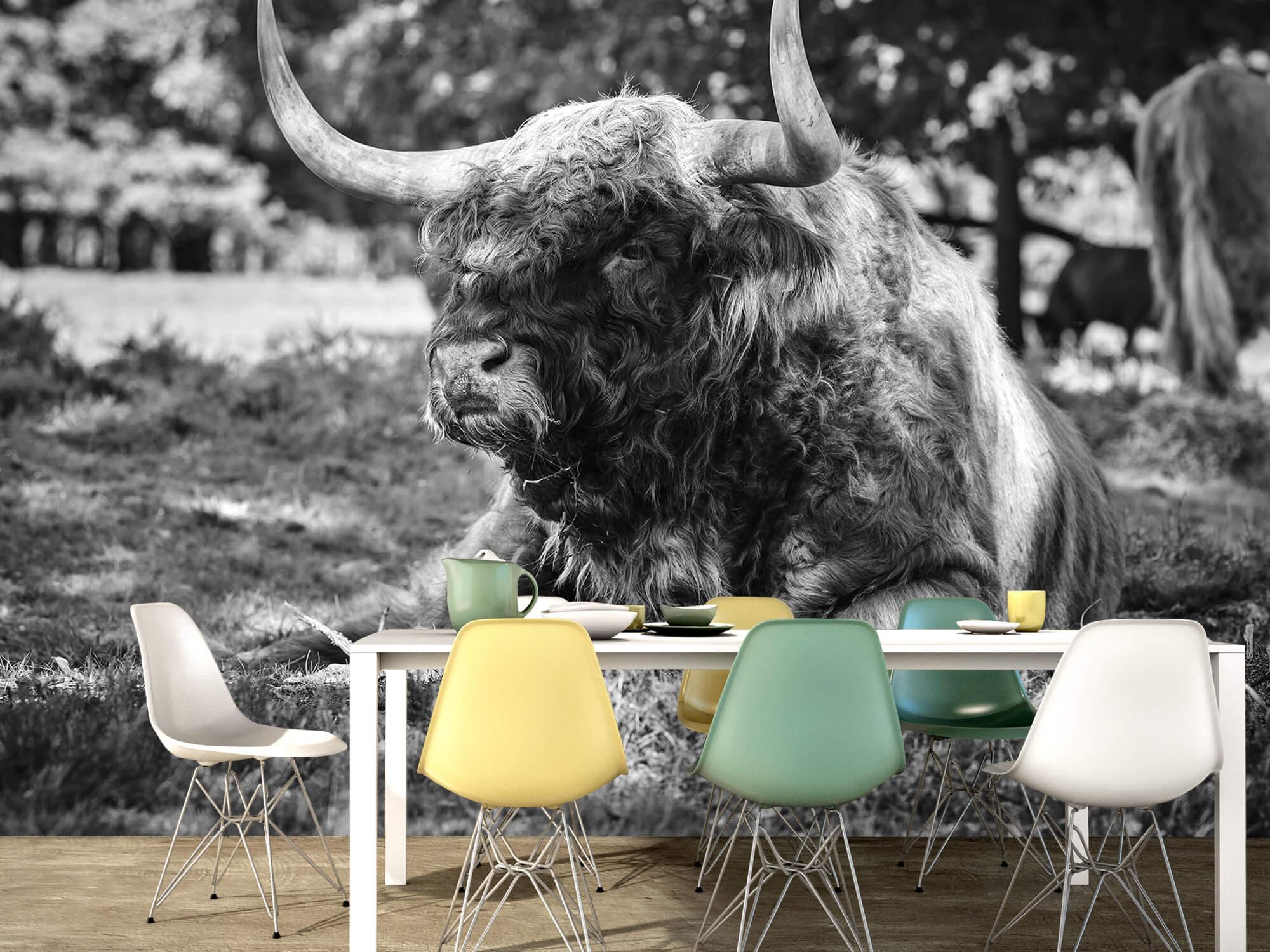 Hooglanders - Schotse hooglander stier 15