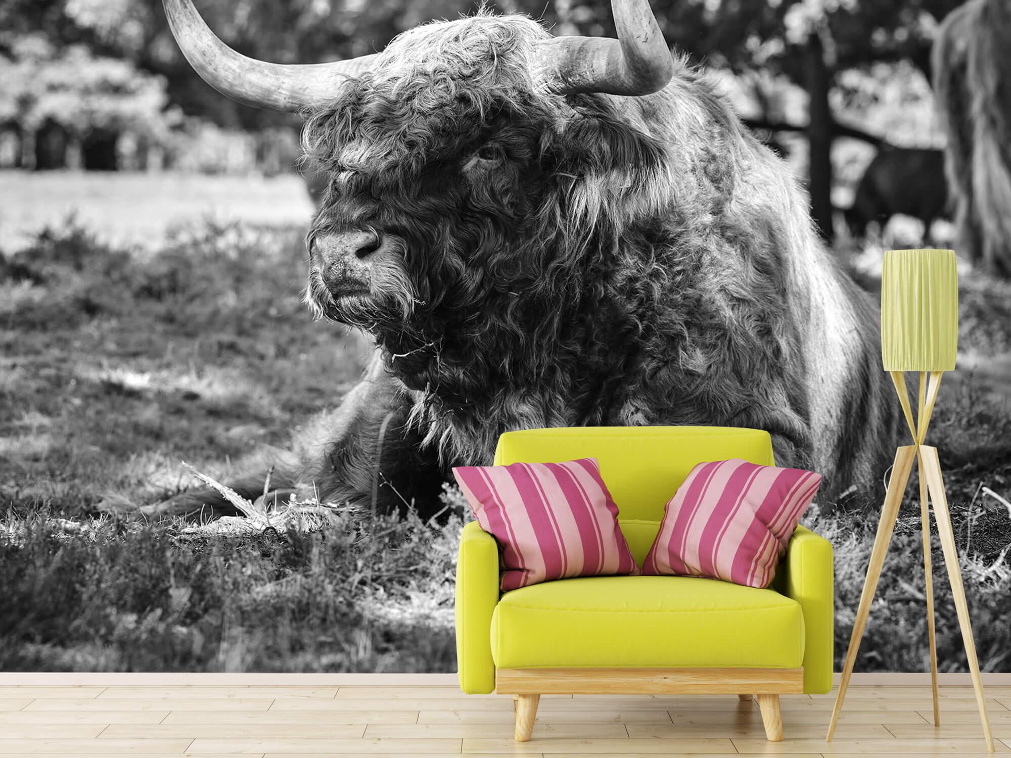 Hooglanders - Schotse hooglander stier 17
