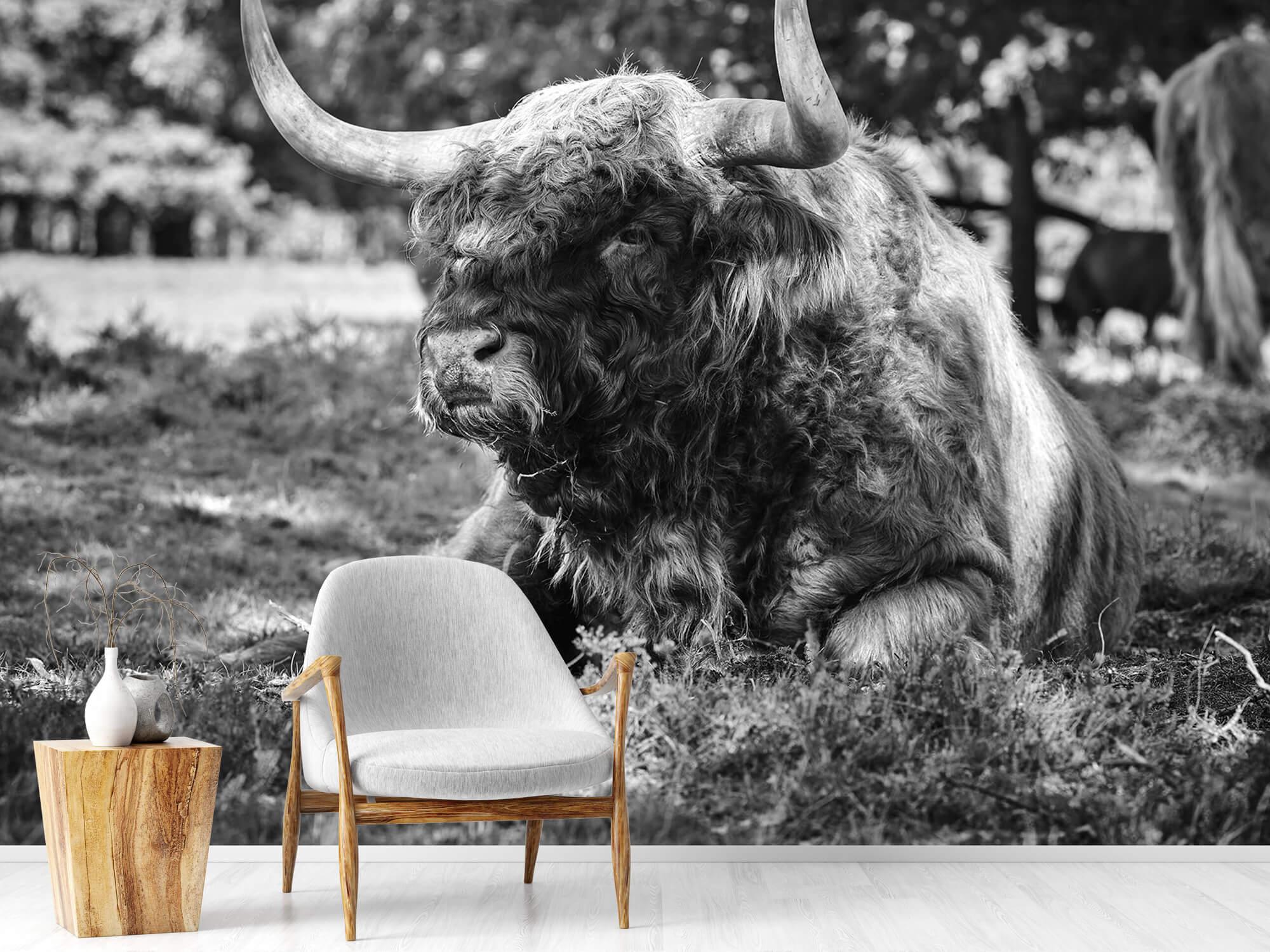 Hooglanders - Schotse hooglander stier 18