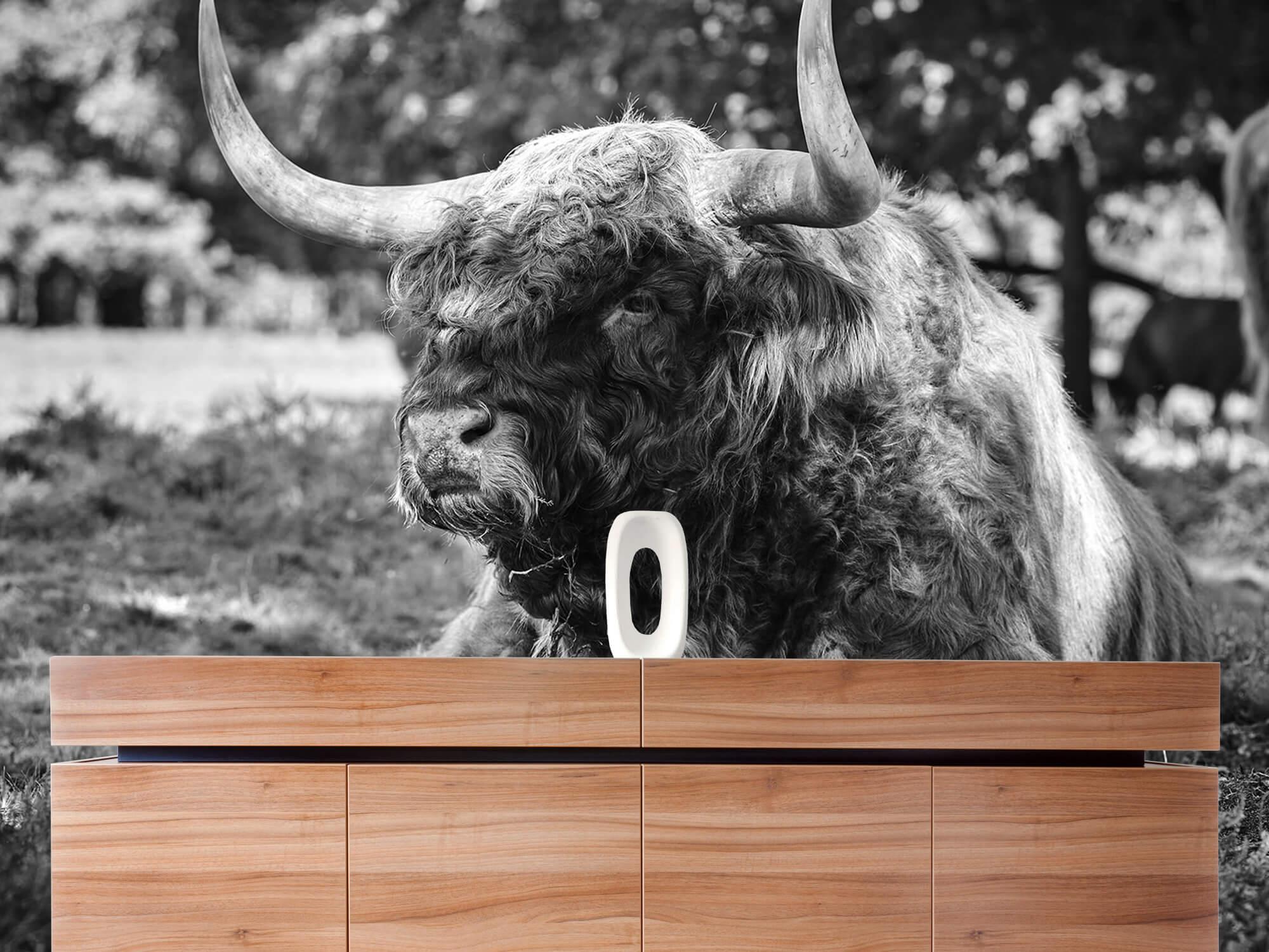 Hooglanders - Schotse hooglander stier 20