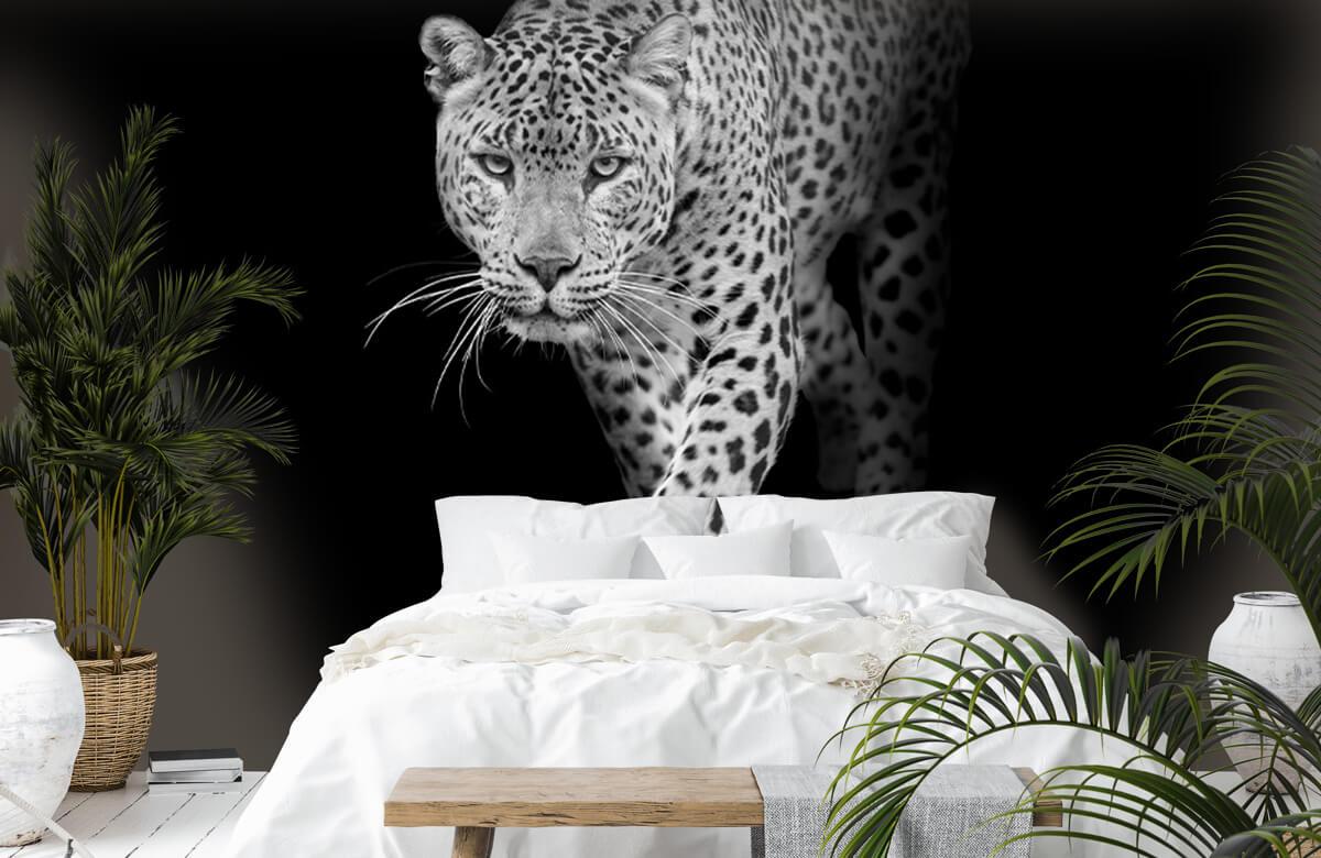 luipaarden Lopende luipaard op een zwarte achtergrond. 6