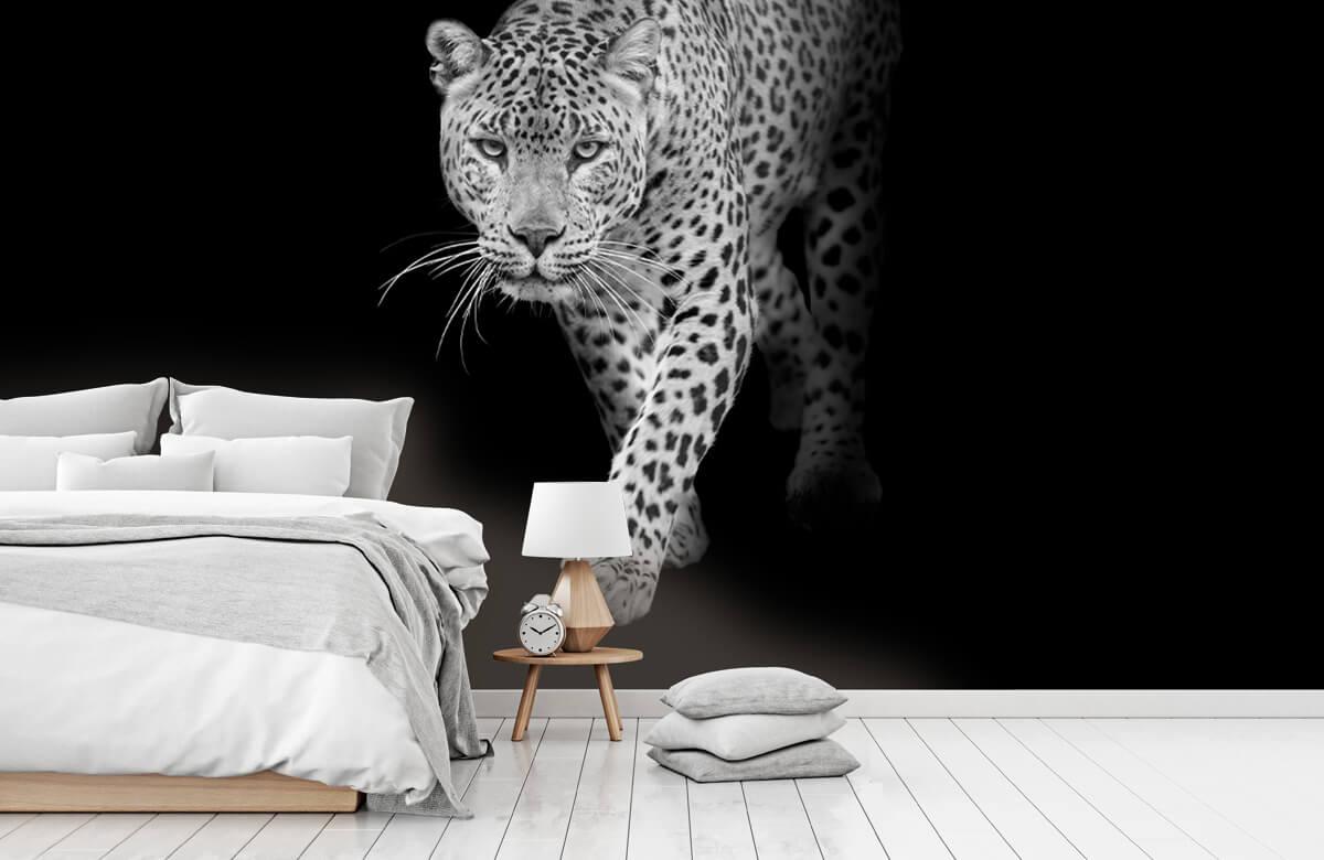 luipaarden Lopende luipaard op een zwarte achtergrond. 7