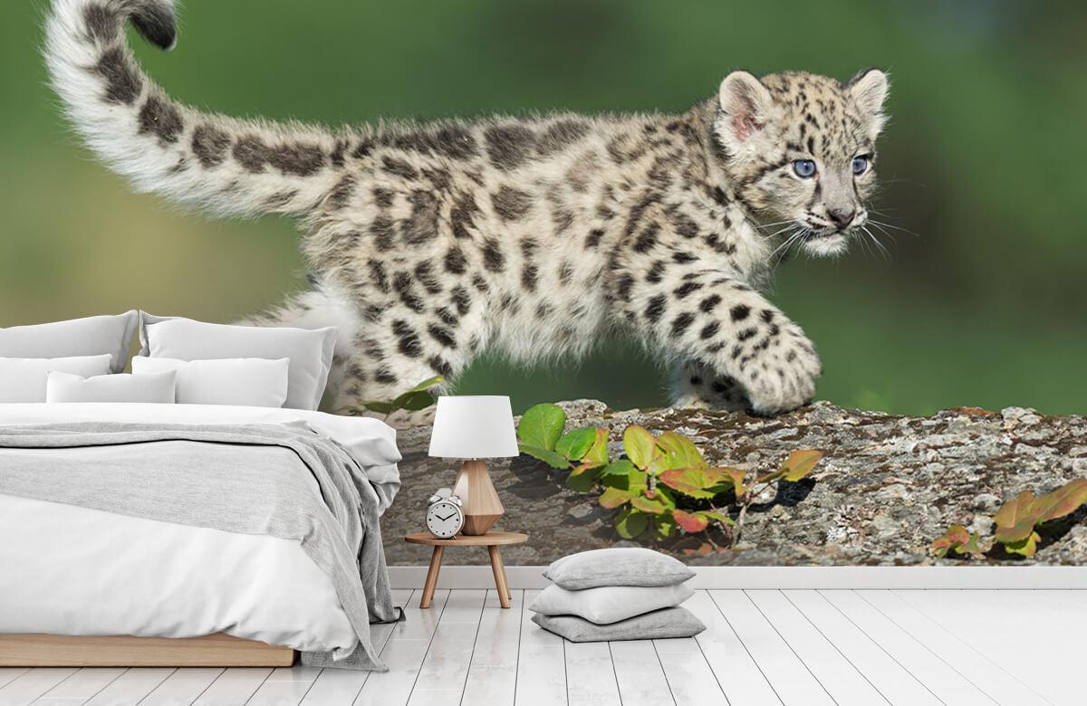 luipaarden Sneeuw luipaard welpje 7