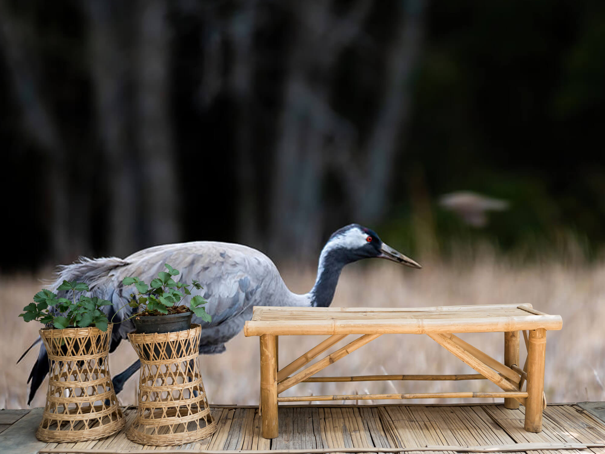 Lopende kraanvogel 3
